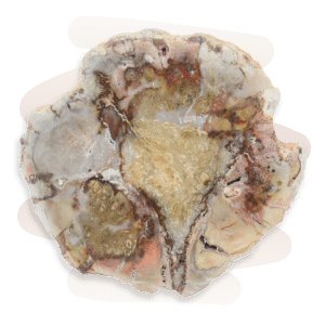 Decomposing wood immersed in mineral-rich sediment and water undergoes an alchemical process where its organic matter is replaced by silicates such as Jasper, Chalcedony, or Quartz.